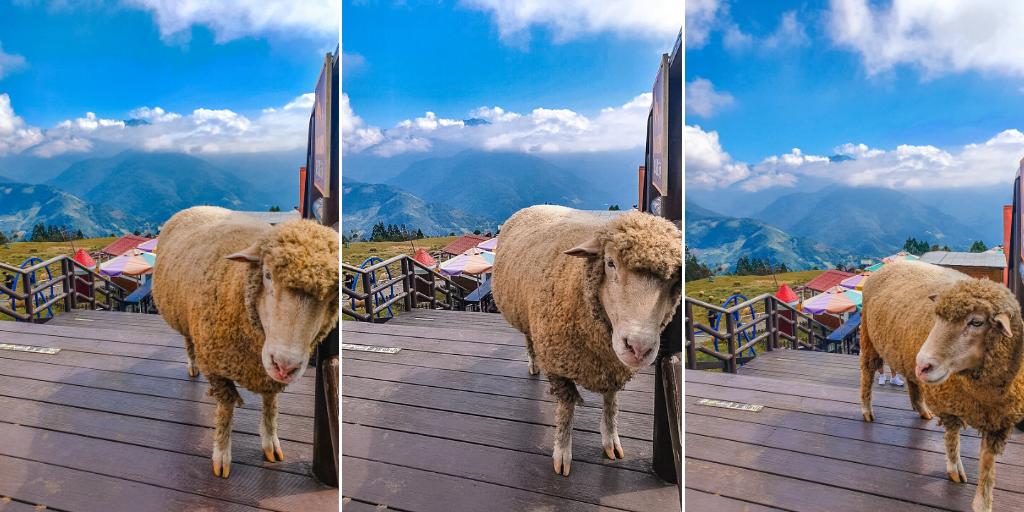 牧區的羊咩很悠閒 清境農場