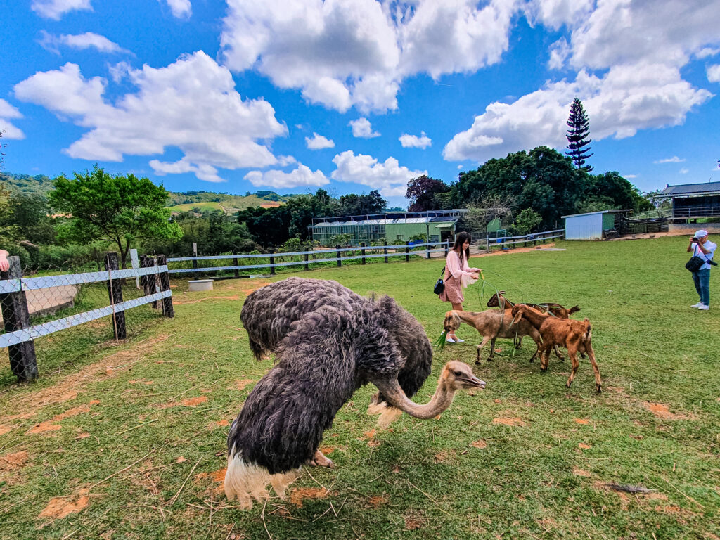 親子牧場裡的羊跟鴕鳥